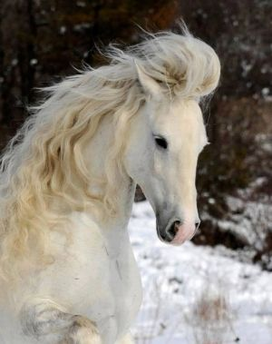 Pretty white horse with wild flowing mane running in the snow. Beautiful!
