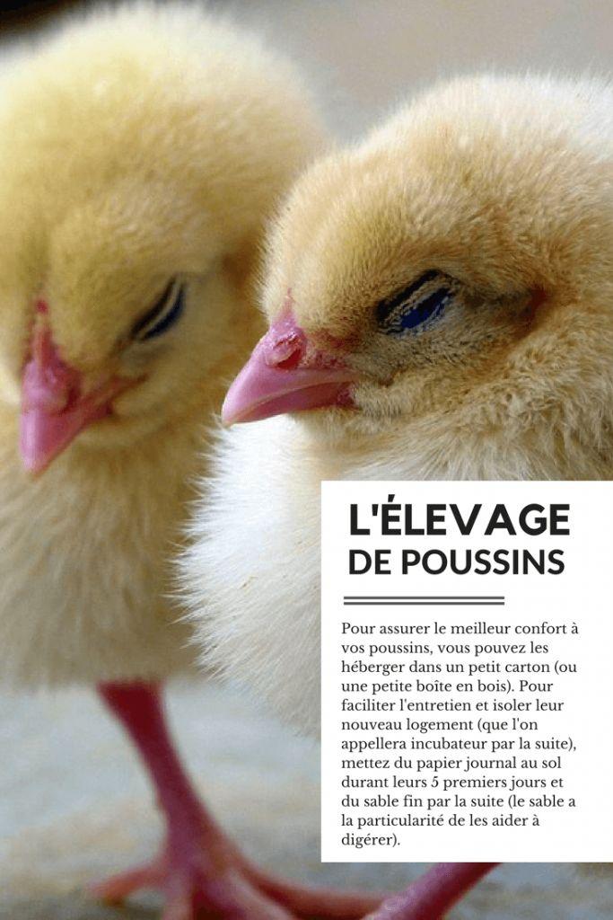 Les 48 meilleures images du tableau l 39 levage des poules for Vive l elevage poulailler