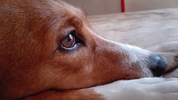 Πραγματικά, δεν μπορείτε να φανταστείτε τι θησαυρός είναι το λάδι σολομού για την διατροφή του σκύλου σας! Το λάδι σολομού περιέχει δύο ουσιώδη Ωμέγα – 3 λιπαρά οξέα. Το EPA και το DHA. Και είναι πλούσιο σε μέταλλα και βιταμίνες. Οι ευεργετικές ιδιότητες του Ωμέγα 3 που έχει το λάδι σολομού προσφέρει πολλά στην υγεία του σκύλου. Λίγες σταγόνες (προσοχή : όσες αναγράφονται πάνω στην συσκευασία ανάλογα με τα κιλά του σκύλου. Μην το παρακάνετε γιατί τότε θα κάνει κακό κι όχι καλό στην υγεία του…