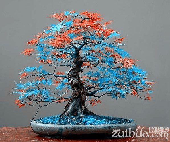 7 arten f r w hlen 20 st cke rare blau maple samen bonsai. Black Bedroom Furniture Sets. Home Design Ideas