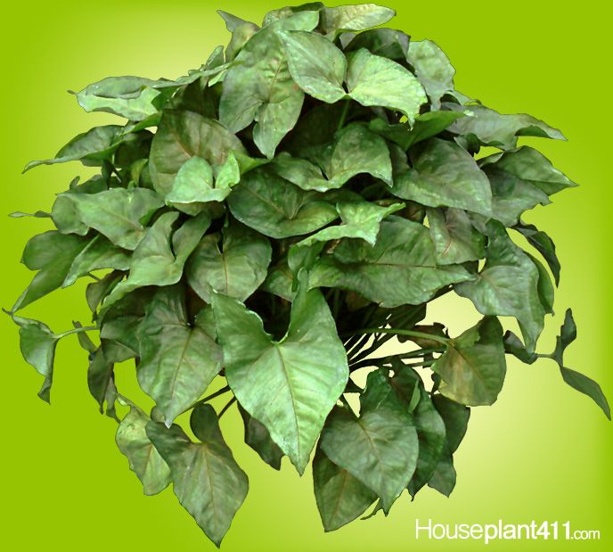 arrowhead houseplants can be hanging or when trimmed sitting plants this is
