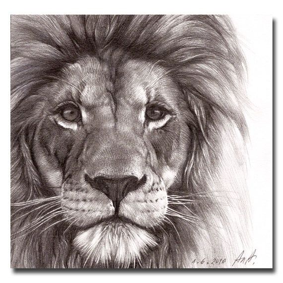 Best pencil drawing of a Lion - Google Search
