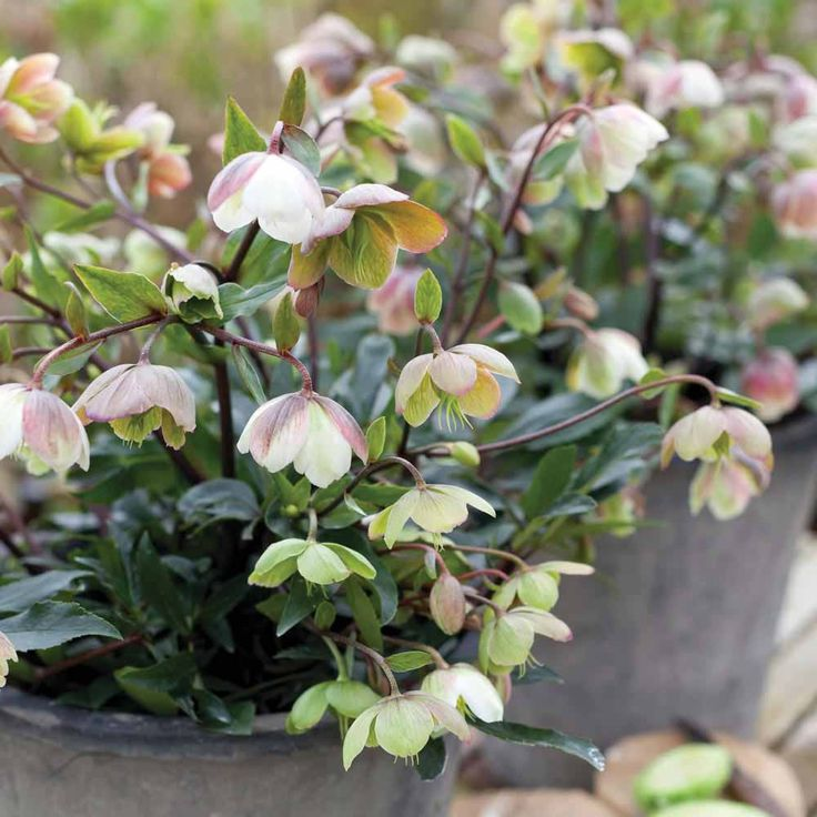 Growing Hellebores Those Lovely Harbingers Of Spring: 199 Best Hellebores Images On Pinterest