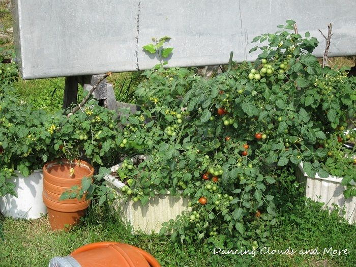 Some of the tomatoes ended up in buckets and old flowerpots.