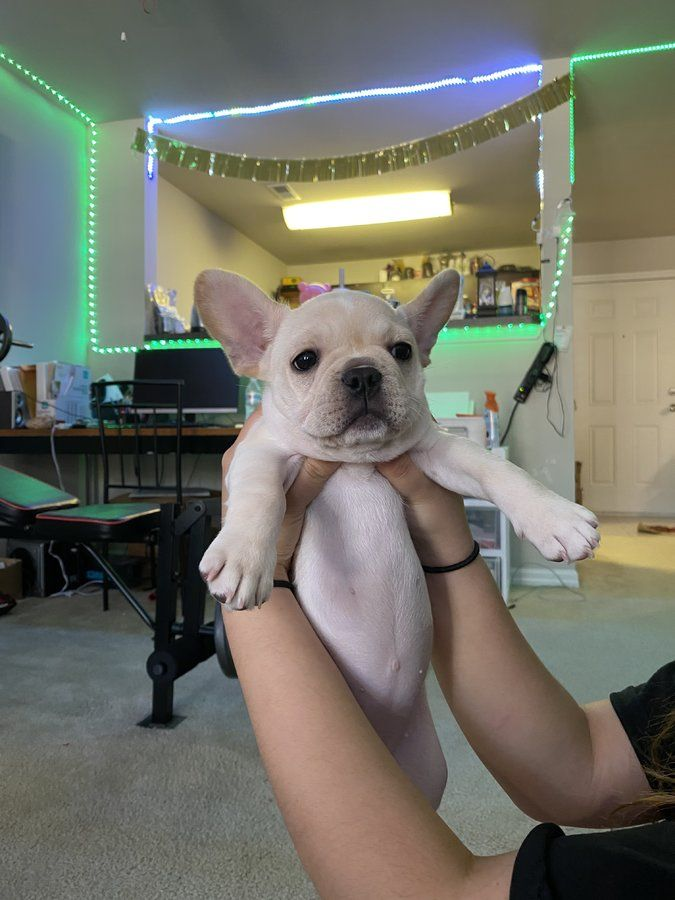 Pin On French Bulldogs Puppies For Sale
