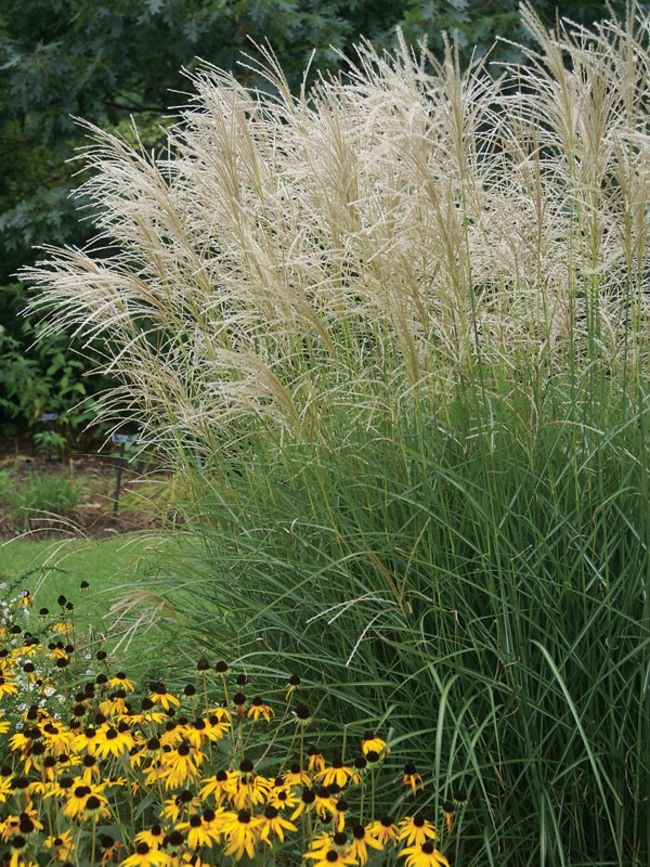 530 best grasses groundcovers images on pinterest for Ornamental pampas grass