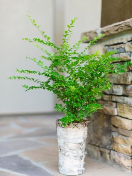 Ligustrum is an evergreen native to Japan which is commonly grown for ornamental use in California, Texas and throughout the Southeastern United States. Popular with homeowners in urban and rural settings, Ligustrum thrives in full sun and partial shade and adapts to different types of soil.