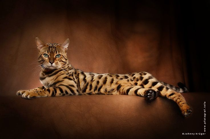 Bengal Cat... I've been wanting one all my life!!!! One day, I'll be able to afford one!