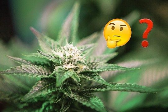 Name That Strain Quiz: Emoji Edition By Sara Dilley — 1/30/2016 http://snip.ly/tCnH Your strain game may the best in the land, but do you emoji? We've compiled a list of our most popular, most reviewed, and most uproariously hilarious strain names and translated them to emoji. Can you guess each strain by its emoji name? #Cannabis #Marijuana #Weed #Spliff #GrowingCannabis