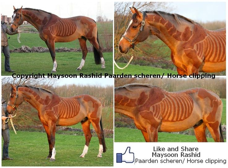 Horse shaved with places of the skeleton still on its body.   Very helpful for understanding anatomy!