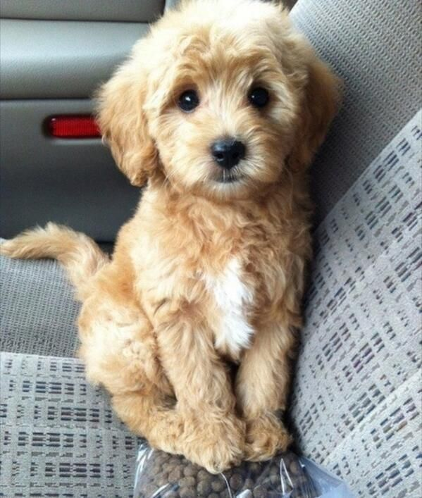 can someone buy me a goldendoodle?? it looks like a teddy bear :)