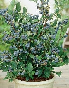 How to Grow Blueberries, Varieties of Blueberry Bushes