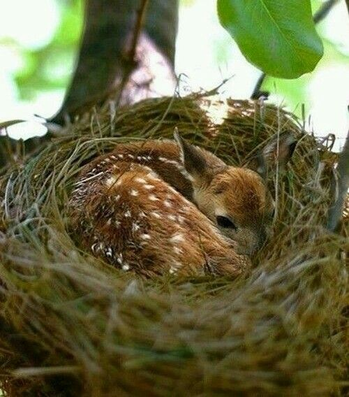 Baby deer in a bird's nest