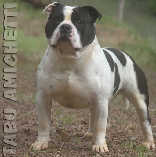 American Staffordshire Terrier Blue Nose | FILHOTES POCKET BULLY AMERICAN STAFFORDSHIRE TERRIER PITBULL BLUE NOSE ...