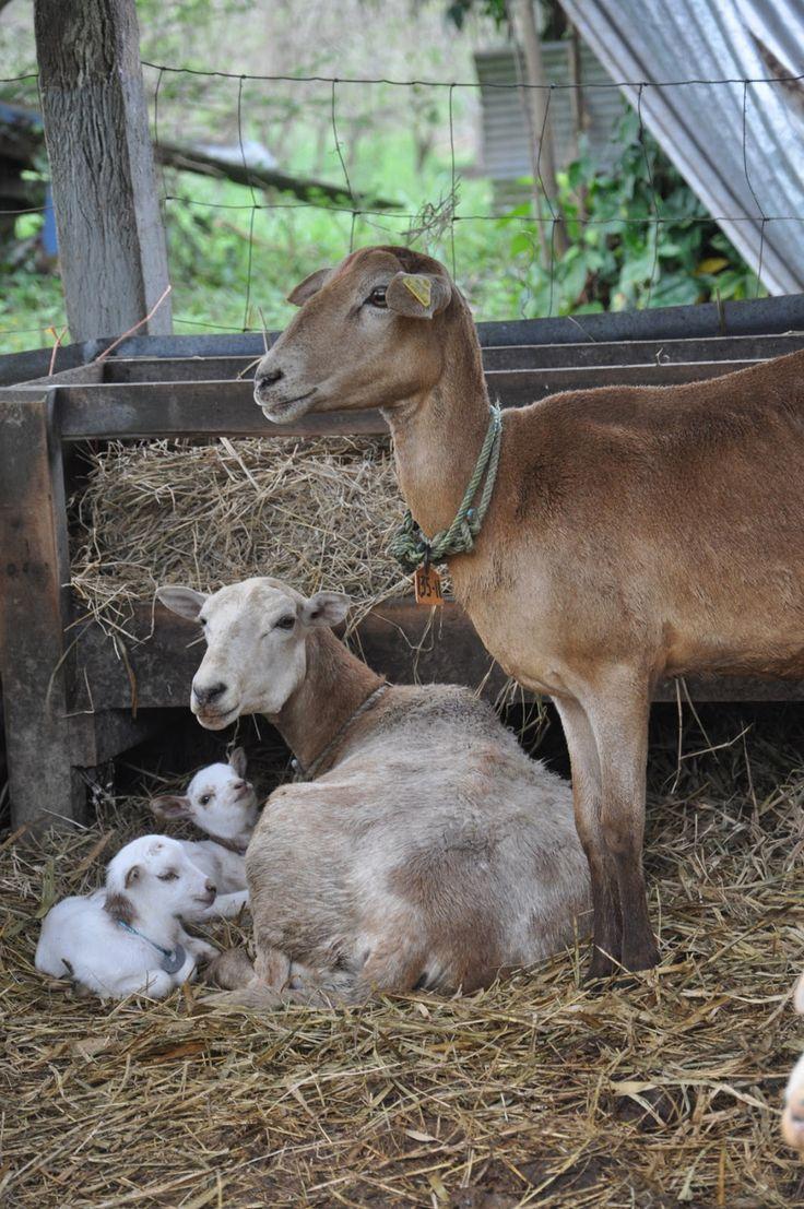 BANCO DE IMÁGENES: 18 fotos de borregos, animales de la granja. Ganado ovino. Corderos.
