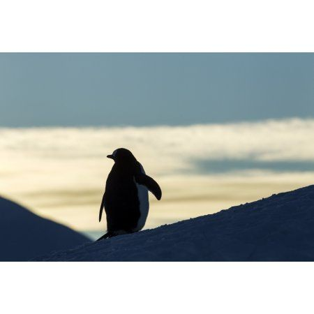 Antarctica Anvers Island Silhouette of Gentoo Penguin (Pygoscelis papua) standing at dusk in rookery near Port Lockroy Canvas Art - Paul Souders Design Pics (38 x 24)
