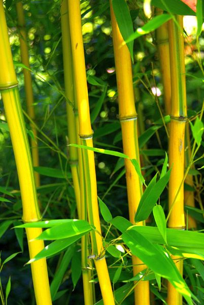 Phyllostachys aureosulcata f. spectabilis - Tall bamboo with green-grooved, golden-yellow canes, which can flash with shades of red in the sun, fading to darker yellow with age. This colourful variety looks great alongside the ebony-black canes of the black bamboo, Phyllostachys nigra. This aptly named coloured-stemmed bamboo is one of our 'highly recommended plants'.