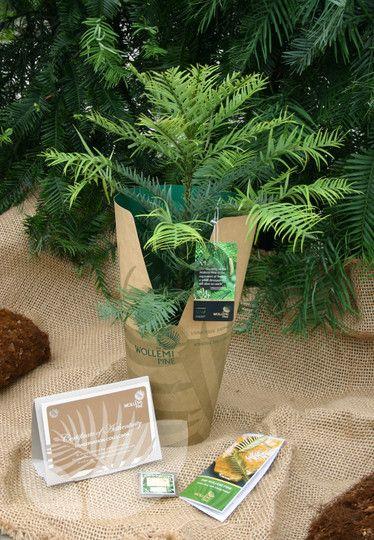 Wollemi Pine Mail Order Blackmoor Nurseries