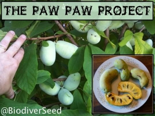 The Paw Paw (Asimina triloba) is the largest fruit native to North America. It has a custard-like texture, that reportedly tastes like a combination of an apple, banana, and mango. Once re-seeded by extinct North American megafauna, it's modern range has been circumscribed. It is one of the only members of the Custard Apple family (Annonaceae)  The Kentucky State University Paw Paw Program gives out free Paw Paw seeds,