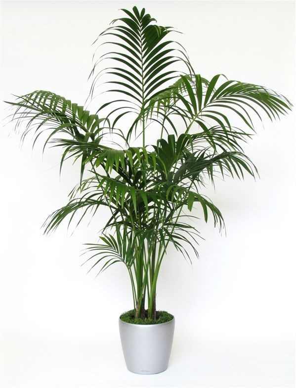 31 best Large Indoor Plants - Houseplants & Palm Trees images on ...