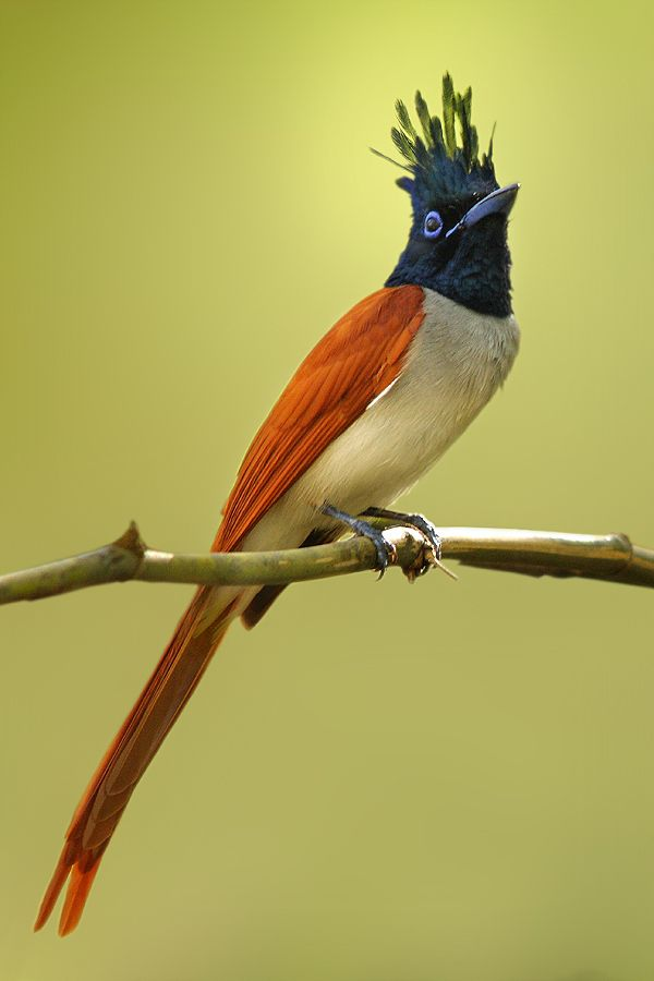 The Asian Paradise Flycatcher (Terpsiphone paradisi) is a medium-sized passerine bird native to Asia. Males have elongated central tail feathers, and in some populations a black and rufous plumage while others have white plumage. Females are short-tailed with rufous wings and a black head. They feed on insects, which they capture in the air often below a densely canopied tree.