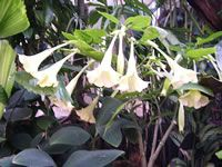 Angel's Trumpets, How to Grow and Care for these Angel's Trumpet Plants,  Brugmansias - Garden Helper, Gardening Questions and Answers