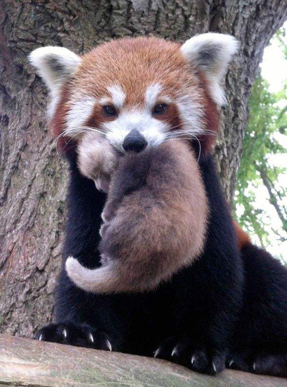 Drusillas Park Zoo's red panda Mulan holds her cub, whose coat is slowly changing from gray to the bright auburn red of an adult red panda.