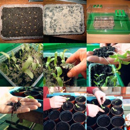 Aubergine planten kweken