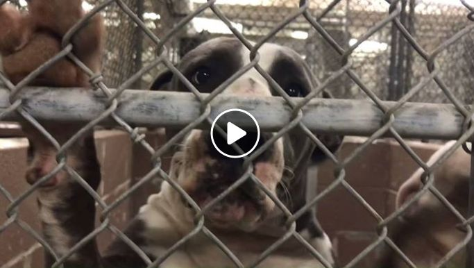 """11/23/17 A final plea has been issued on behalf of a """"wiggle-butt,"""" owner surrendered dog who is being held at the Harris County Animal Control agency in Texas. The young dog, just two years of age, was surrendered to the facility on November 10 and she has not received any pledges or interest. The Facebook page, …"""