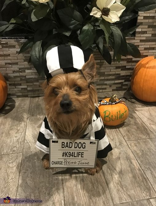 Ann: This is our 11 year old hormone Bullet wearing a prisoner outfit from Petco. We treat Bullet as if he is our child and after looking online and searching many...