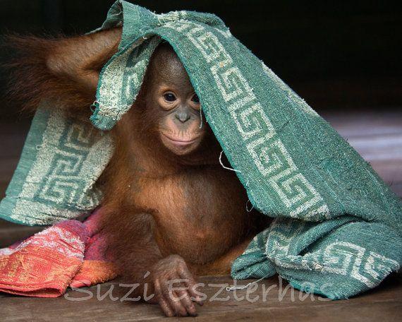 Animal Photography Baby Nursery Art BABY ORANGUTAN by WildBabies, $25.00