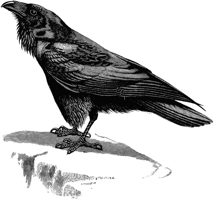 Image result for raven clipart