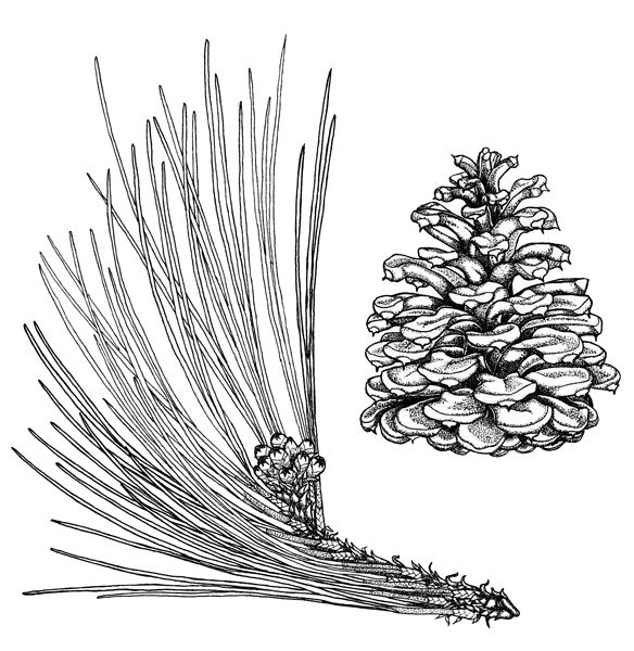 Ponderosa pine coloring page google search in the for Ponderosa pine tattoo