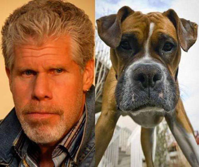 20 смешных собак, напоминающих что угодно, только не животных  Рон Перлман и этот боксер