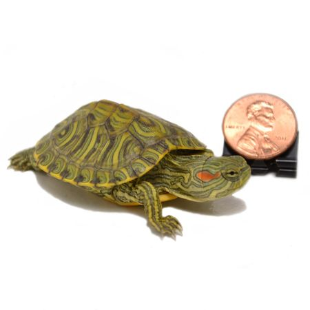 Baby Rio Grande Turtles for sale. Our baby turtles are all captive breed and raised. We offer a huge selection of products for turtle tanks. Check us out.