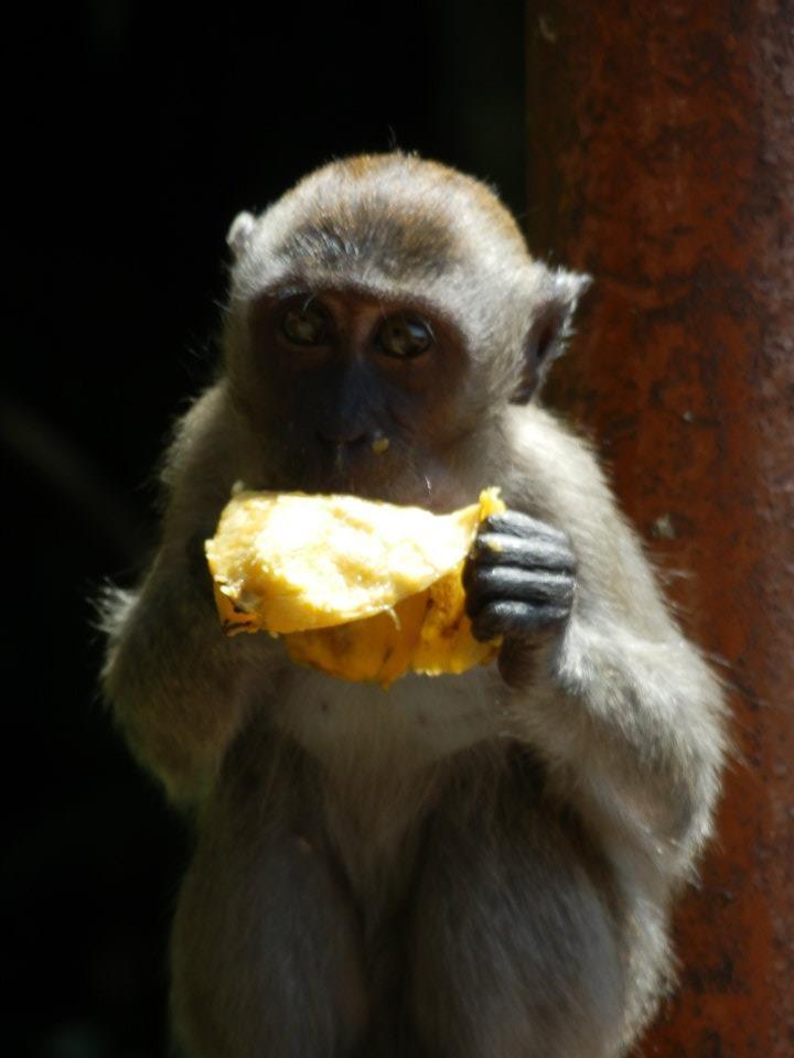 "Cave Monkey ""Yummy yummy Mango..."""