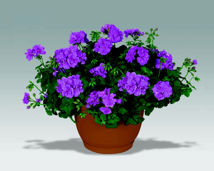 Trailing geranium amelit perennials pinterest geraniums and ivy - How to care for ivy geranium ...