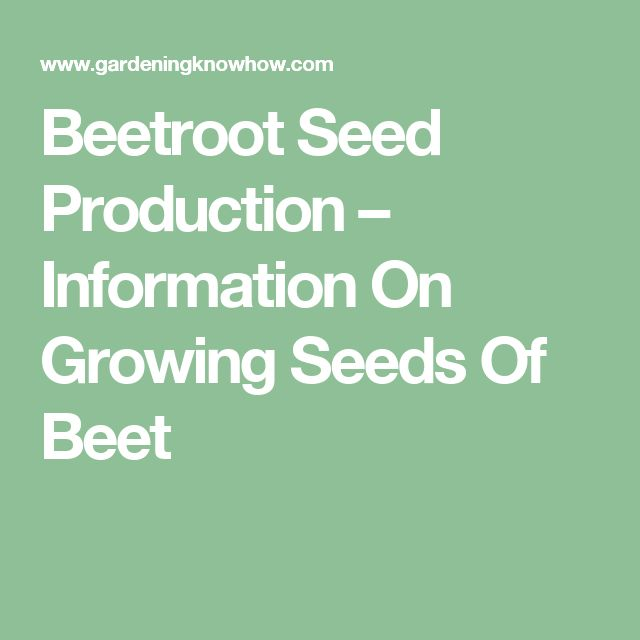 Beetroot Seed Production – Information On Growing Seeds Of Beet