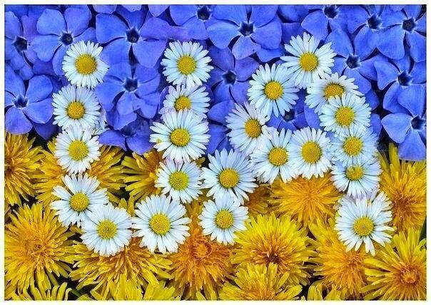 ukrainian flag flower blue yellow