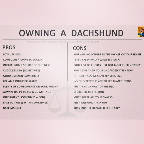 A funny little Pros and Cons list of owning a Dachshund by