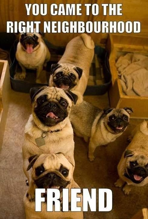 pugs, pugs, pugs!