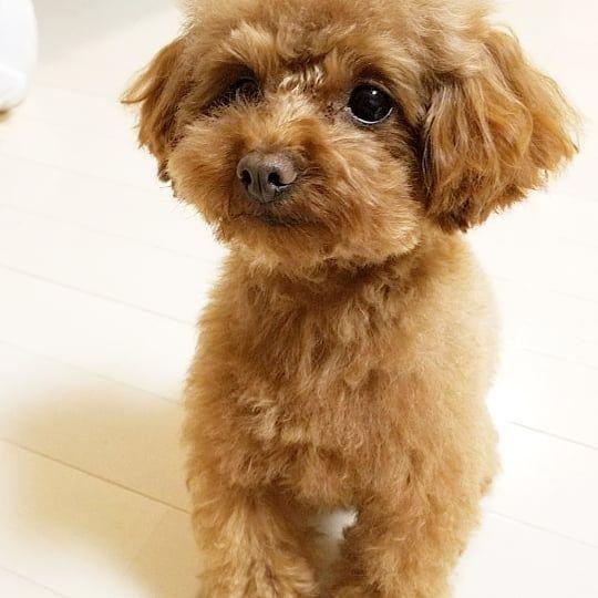 お風呂に入ってきたのぉ😄 #トイプードル #トイプードルレッド #かわいい #愛犬 #myfamily #mydog #lovely #coco