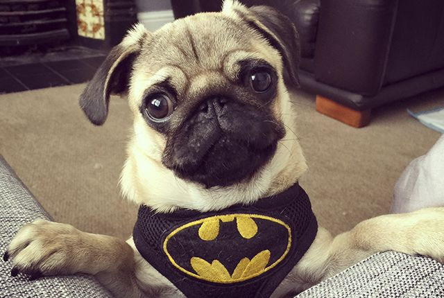 This week's social pug profile superstar is the ever so awesome and crime fighting Batman. Head on over to the blog to learn all about this awesome pug. http://www.thepugdiary.com/social-pug-profile-batman/
