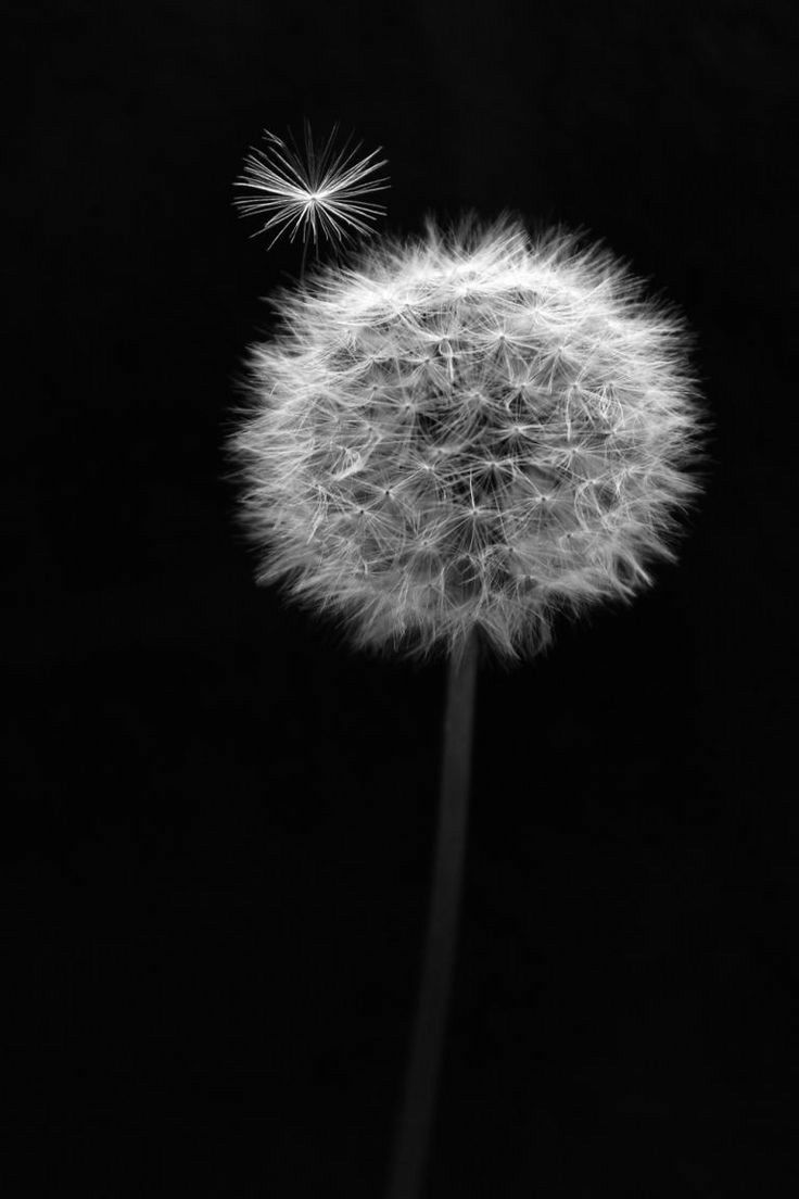 Pin By Mary Valentine On The Black World Dandelion Wallpaper Black And White Painting Dark Wallpaper