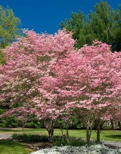 Amazing pink Dogwood trees. Use the Rutgers Hybrids for better disease resistance. Learn more about different varieties here. http://www.landscape-design-advice.com/dogwood-trees.html