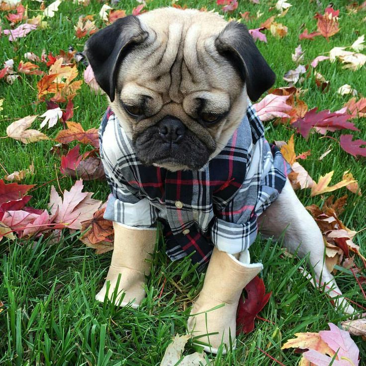 Pugs in flannel                                                                                                                                                                                 More