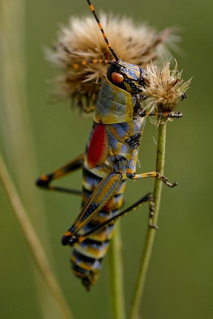 Locust nymph by brian.gratwicke, via Flickr