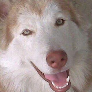 Mi #TBT de hoy es para un angelito que jamás voy a olvidar, te amo mi peluo ❤️😭#Ares #mydog #mypuppy #puppy #dog #husky #siberianhusky #love #light #forever #young #hope #faith #family - robster_r