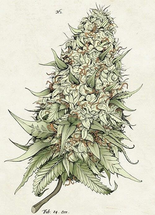 Beautiful bud, powerful medicine. Some people use marijuana to get high, some use it to stop pain. A choice you should have…