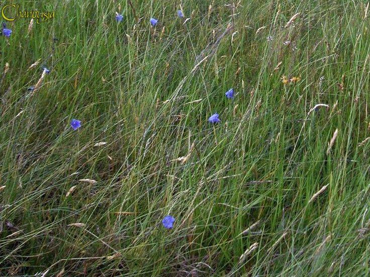 Prateria alpina - Si sviluppano piante erbacee basse e fitte, quasi tutte perenni, tra le quali dominano erbe graminoidi - Giardino Botanico Alpino Chanousia